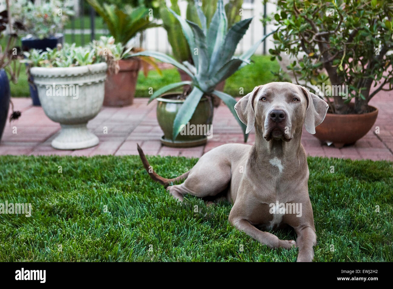 regal weimaraner dog laying down in lush backyard grass in front