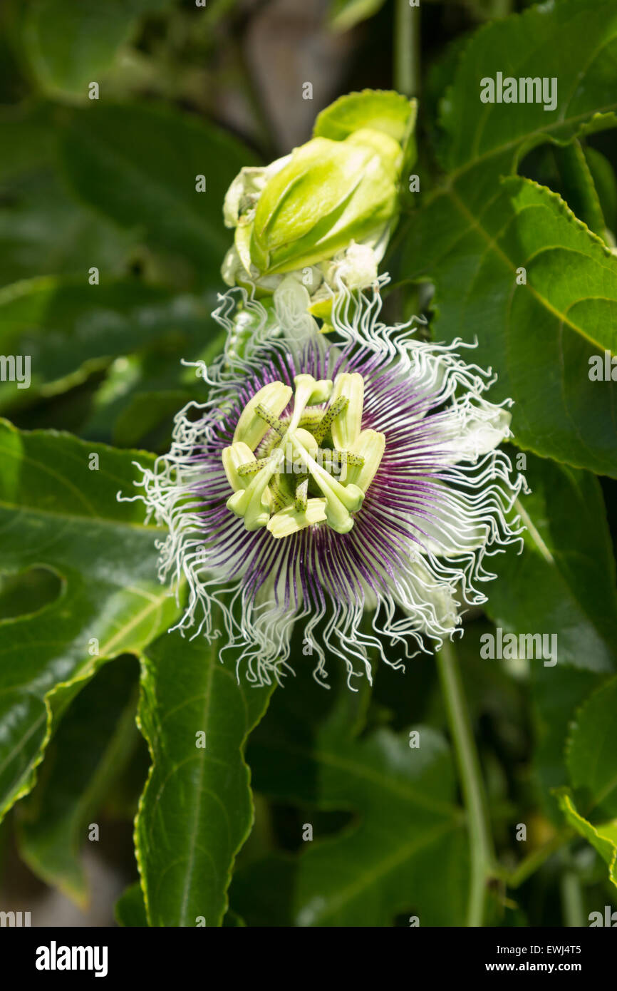 Purple and white passionflower fruit passiflora incarnate booms purple and white passionflower fruit passiflora incarnate booms on the green vine in summer dhlflorist Images