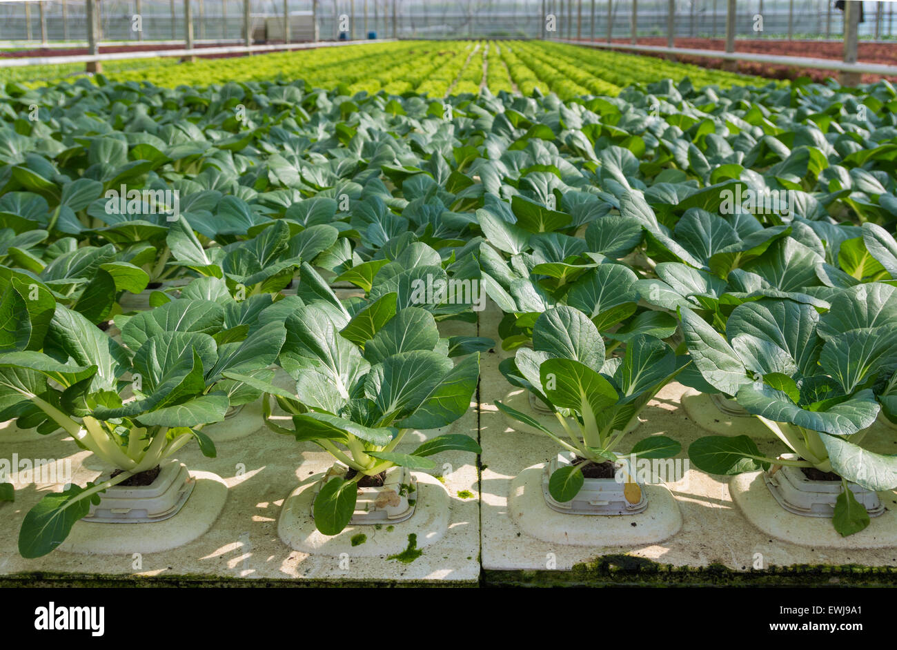 Stock Photo   Cultivation Of Vegetables In A Greenhouse In The Netherlands