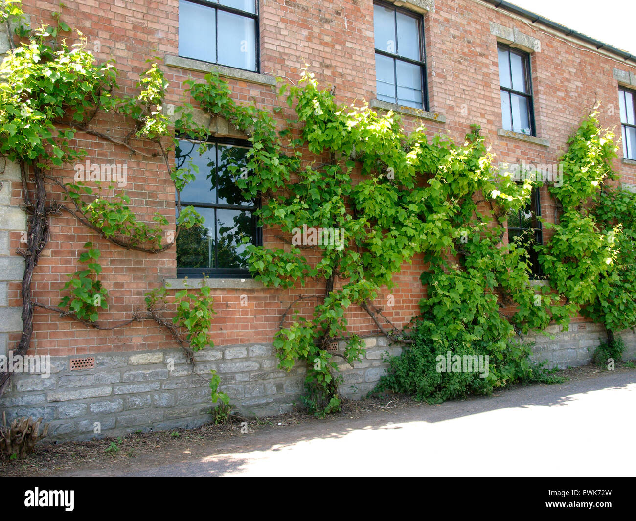 Grape Vines Growing Along The Front Of A Building
