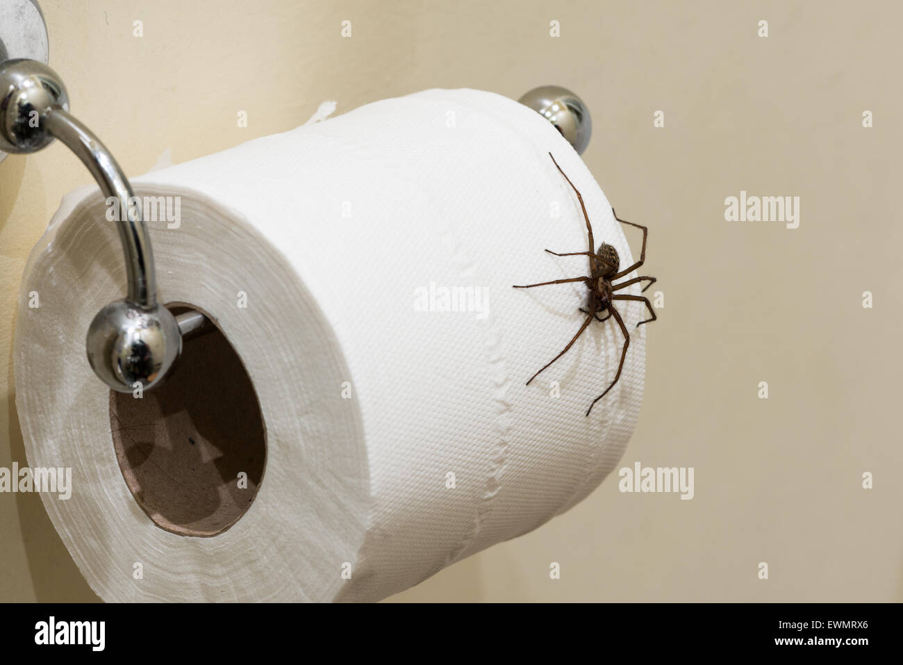 Fear of entering the bathroom the largest British domestic spider  Tegenaria parietina hangs on a loo. Fear of entering the bathroom the largest British domestic spider