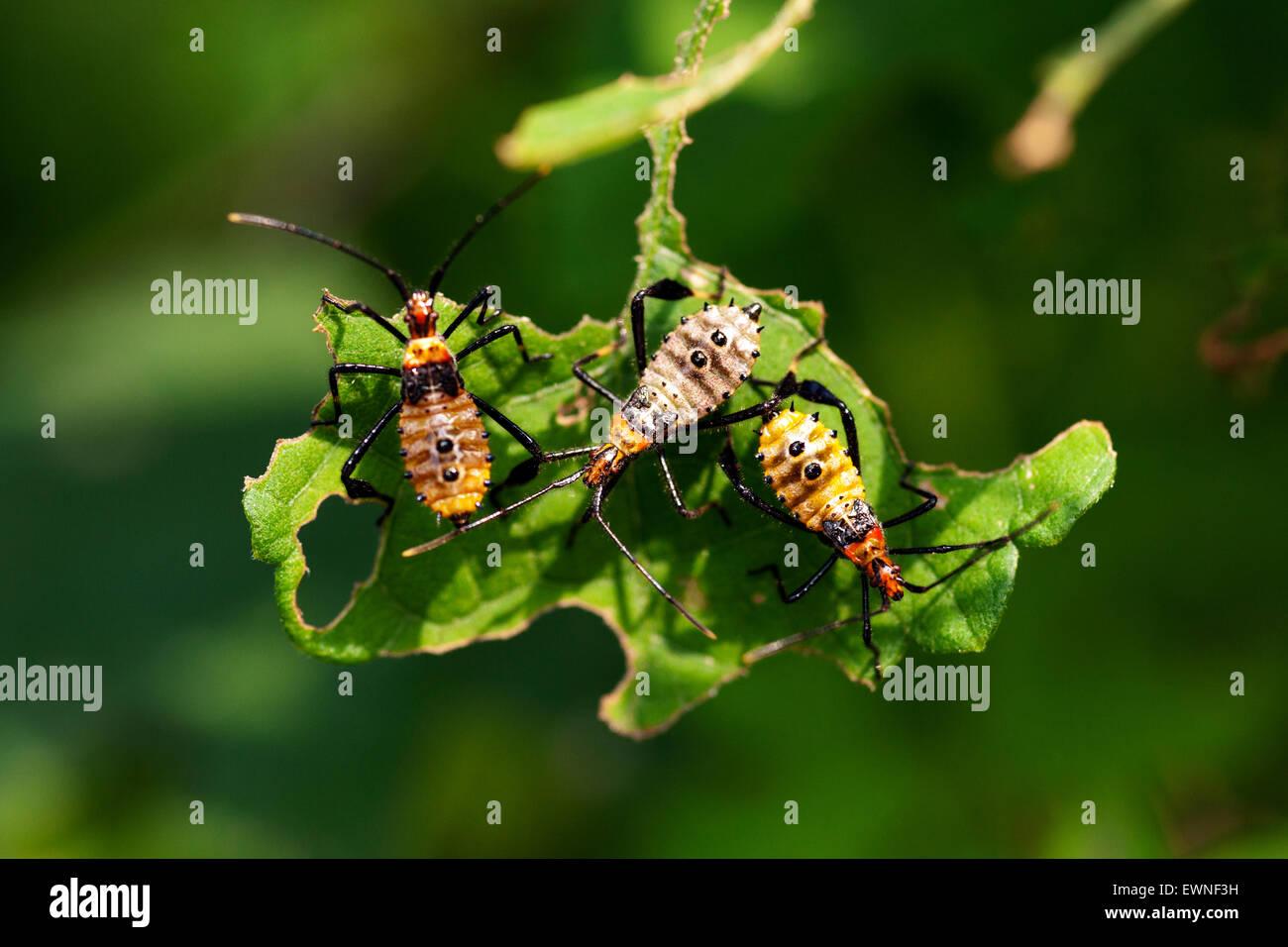 Leaf-footed Bug Nymphs (Leptoglossus phyllopus) - Camp Lula Sams ...