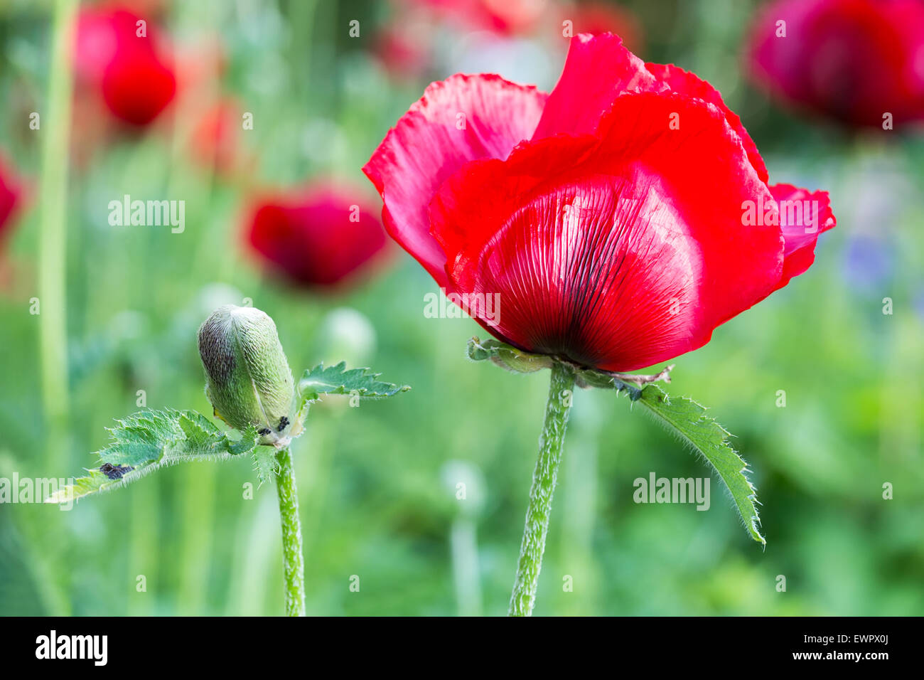 Red corn poppy with flower bud in summer season stock photo red corn poppy with flower bud in summer season dhlflorist Images