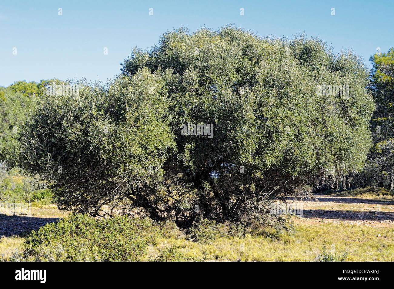 wild olive tree olea europaea var sylvestris in the. Black Bedroom Furniture Sets. Home Design Ideas