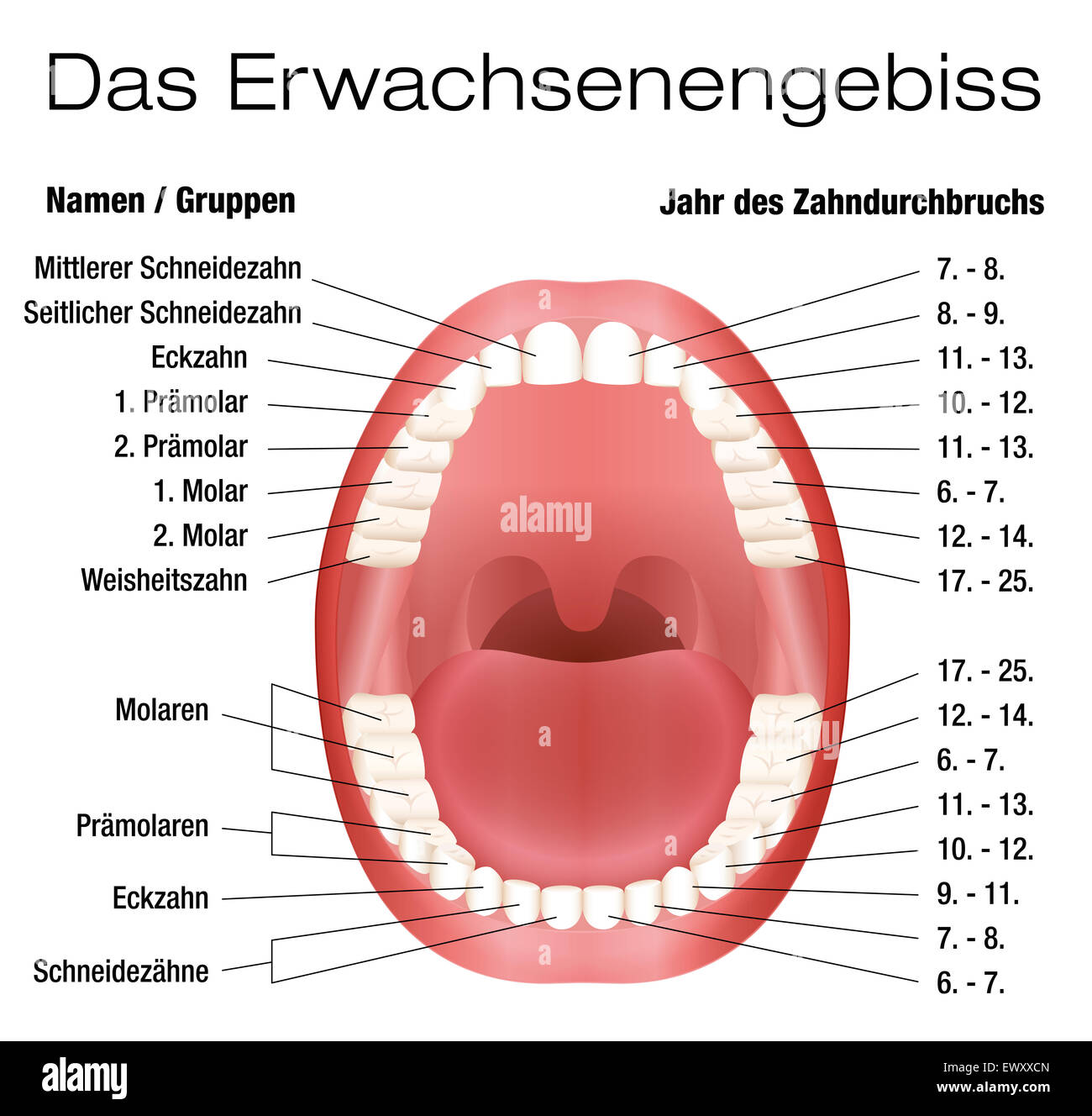 Permanent tooth eruption stock photos permanent tooth eruption teeth names and permanent teeth eruption chart german labeling stock image geenschuldenfo Image collections