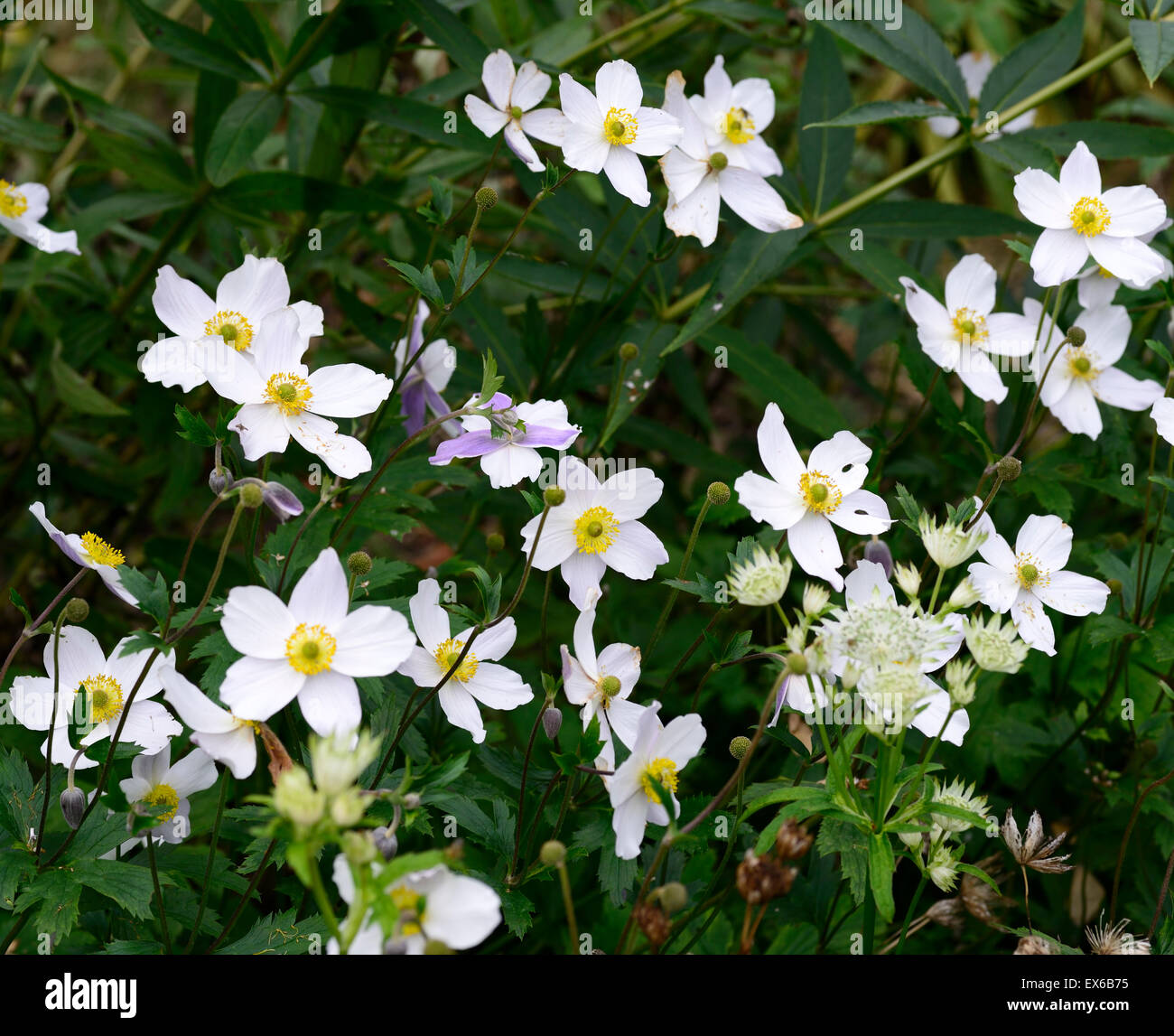 White perennial flowers savingourboysfo anemone wild swan white flower blue purple reverse herbaceous natural flower perennial dhlflorist Image collections