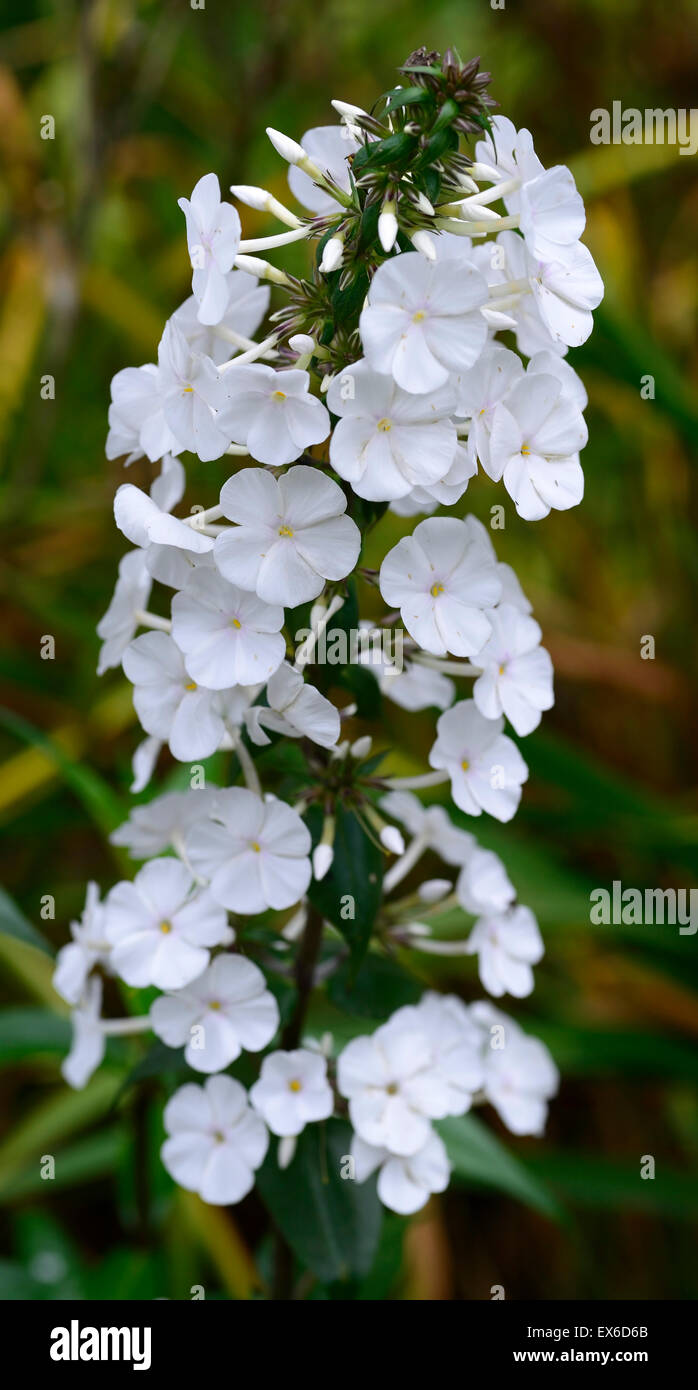 Phlox paniculata delta snow white flower flowers herbaceous stock photo phlox paniculata delta snow white flower flowers herbaceous perennial perennials rm floral dhlflorist Image collections