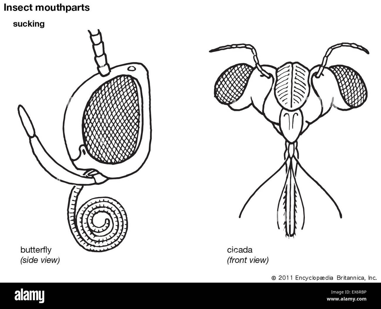 How To Draw Cockroach Mouth Parts