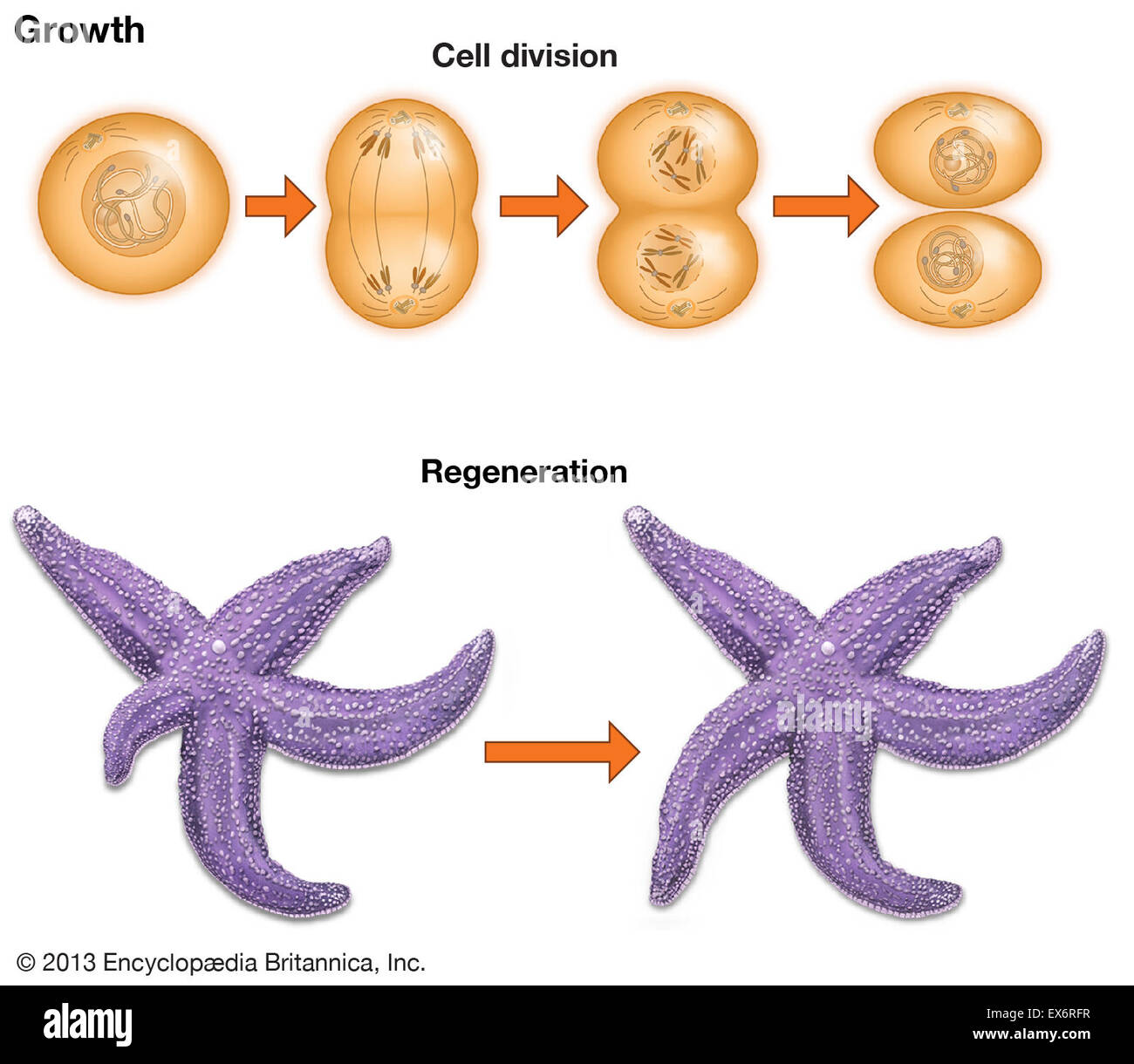Starfish Cell Diagram - Wiring Library •