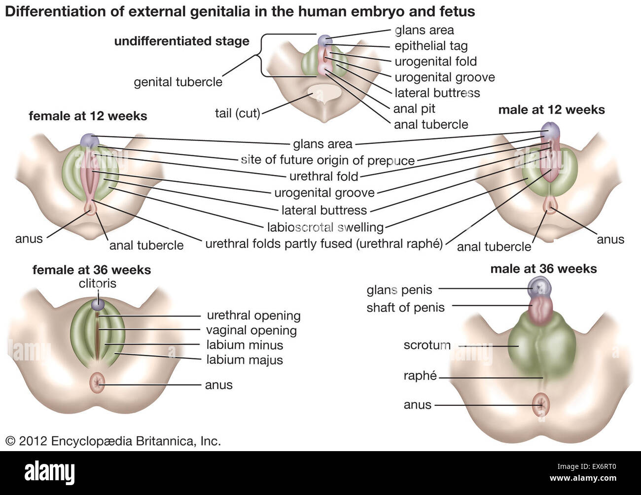 http://c8.alamy.com/comp/EX6RT0/external-genitalia-in-human-embryo-and-fetus-EX6RT0.jpg