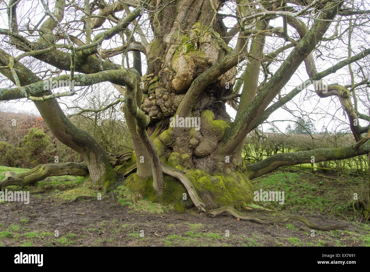 Ancient Sweet Chestnut trees Castanea sativa at Croft Castle in