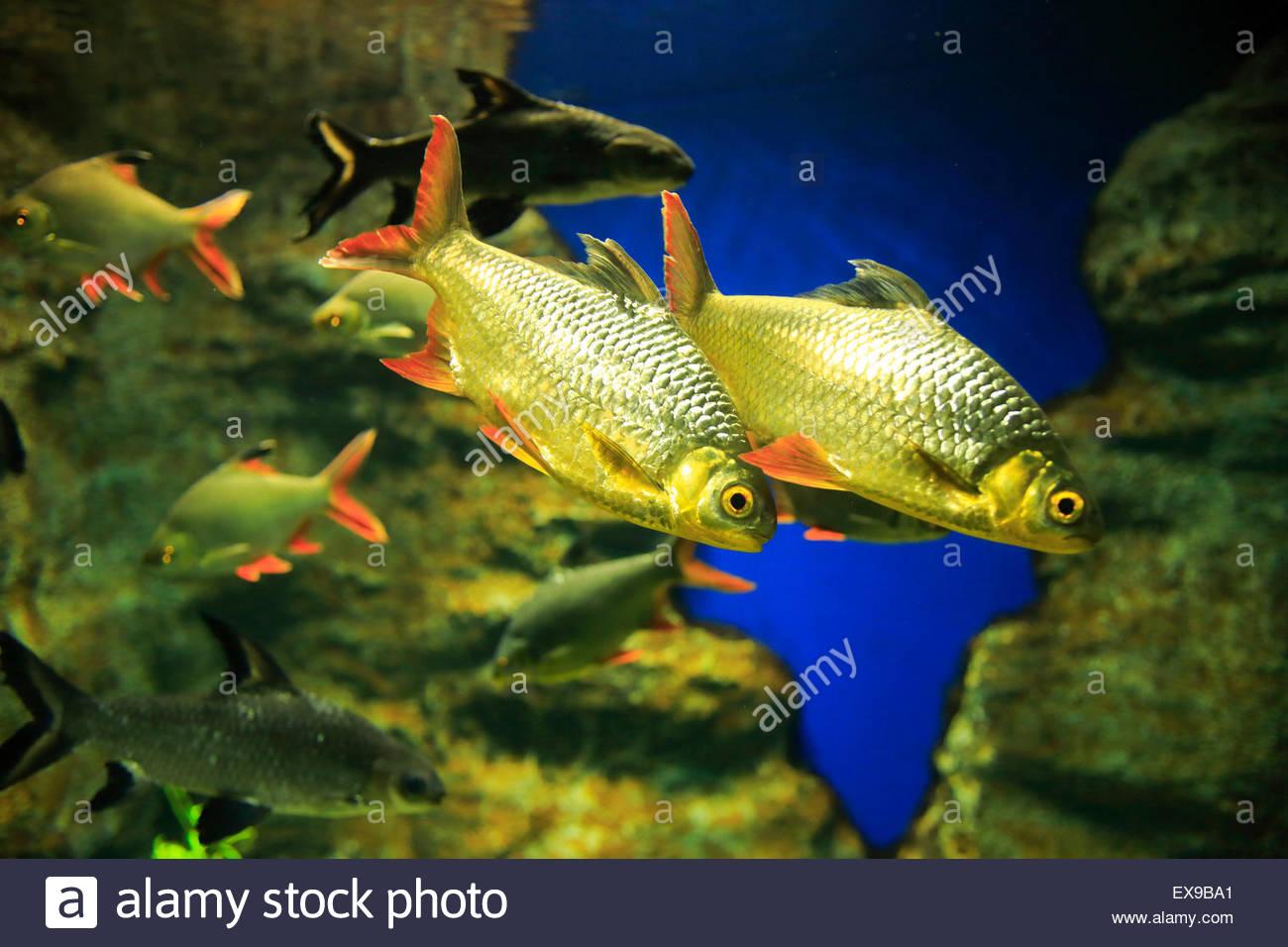 Fish aquarium japan - Japan Hokkaido Kitami Redfin Fusilier Fish Swimming In Aquarium Close Up