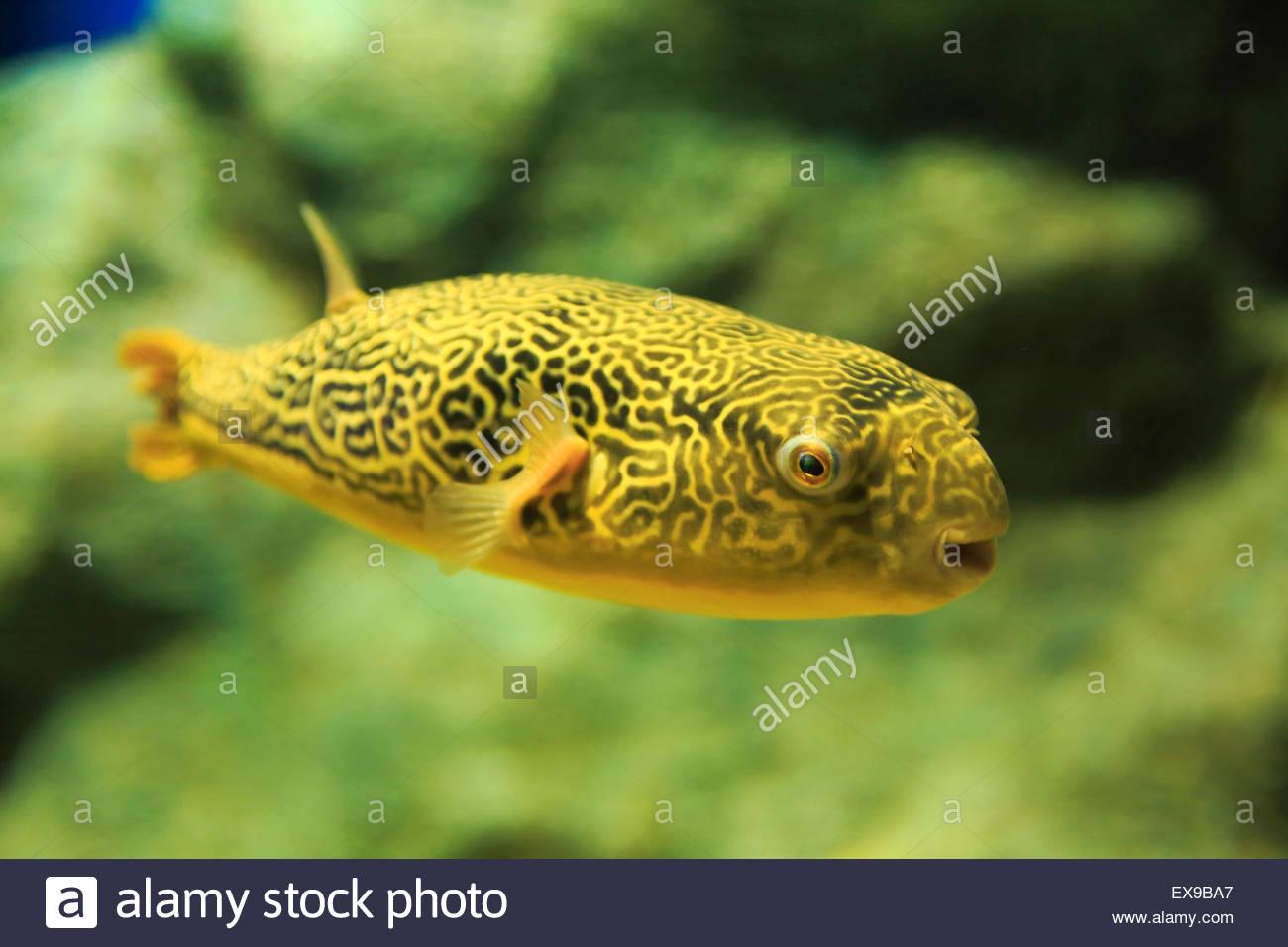 Fish aquarium japan - Japan Hokkaido Kitami Puffer Fish In Aquarium