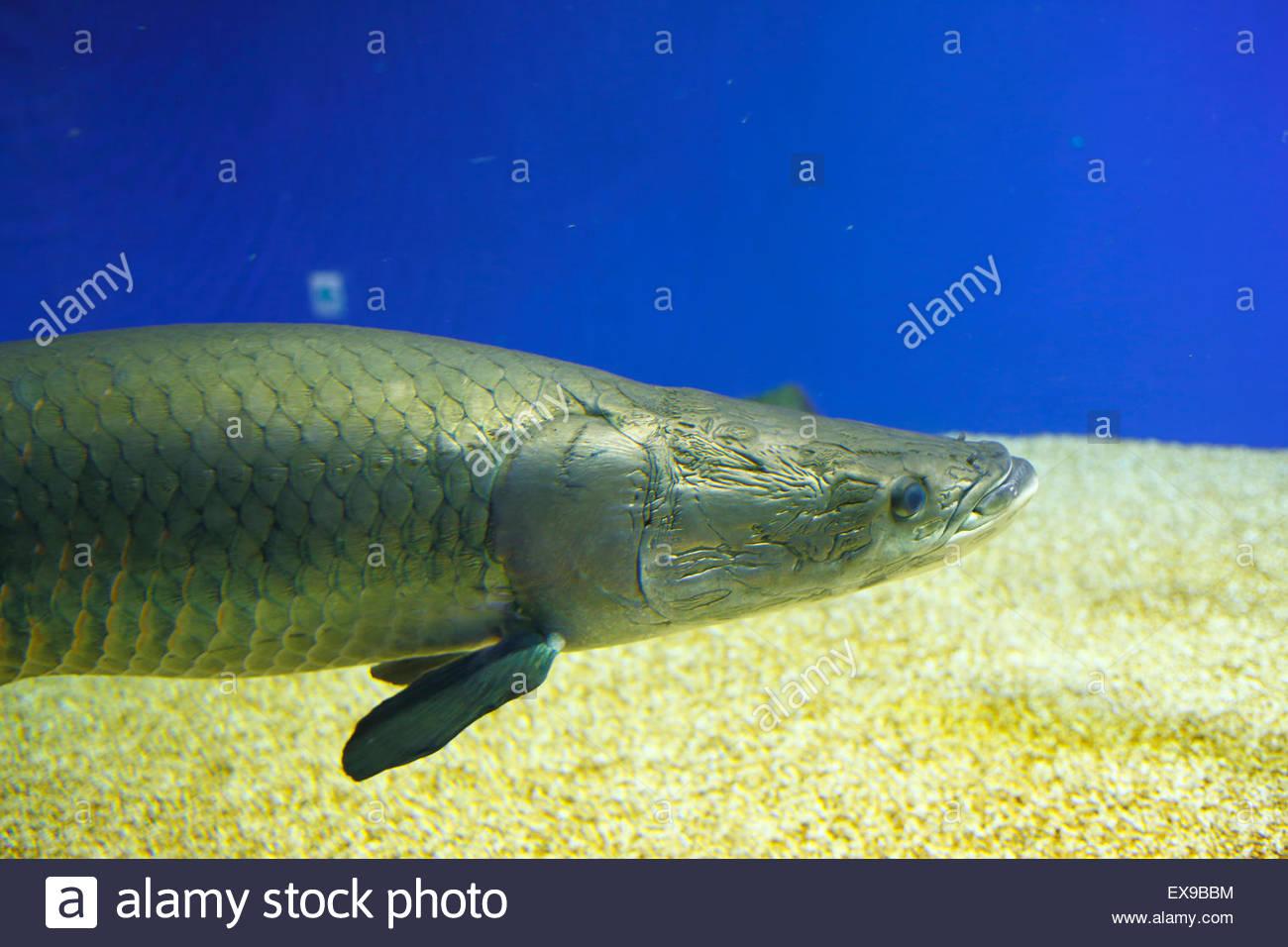 Fish aquarium japan - Japan Hokkaido Kitami Pirarucu Fish In Aquarium