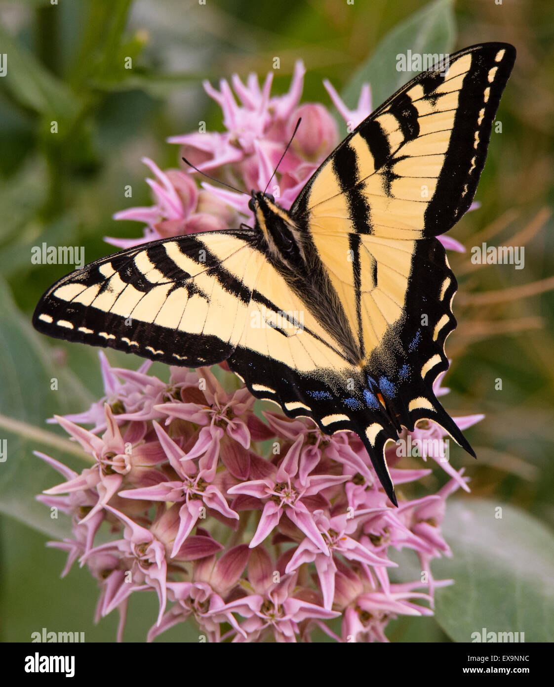 Merveilleux Butterflies, Eastern Tiger Swallowtail Butterfly Feeding On Nector From A  Blooming Milkweed Plant. Idaho, USA, North America