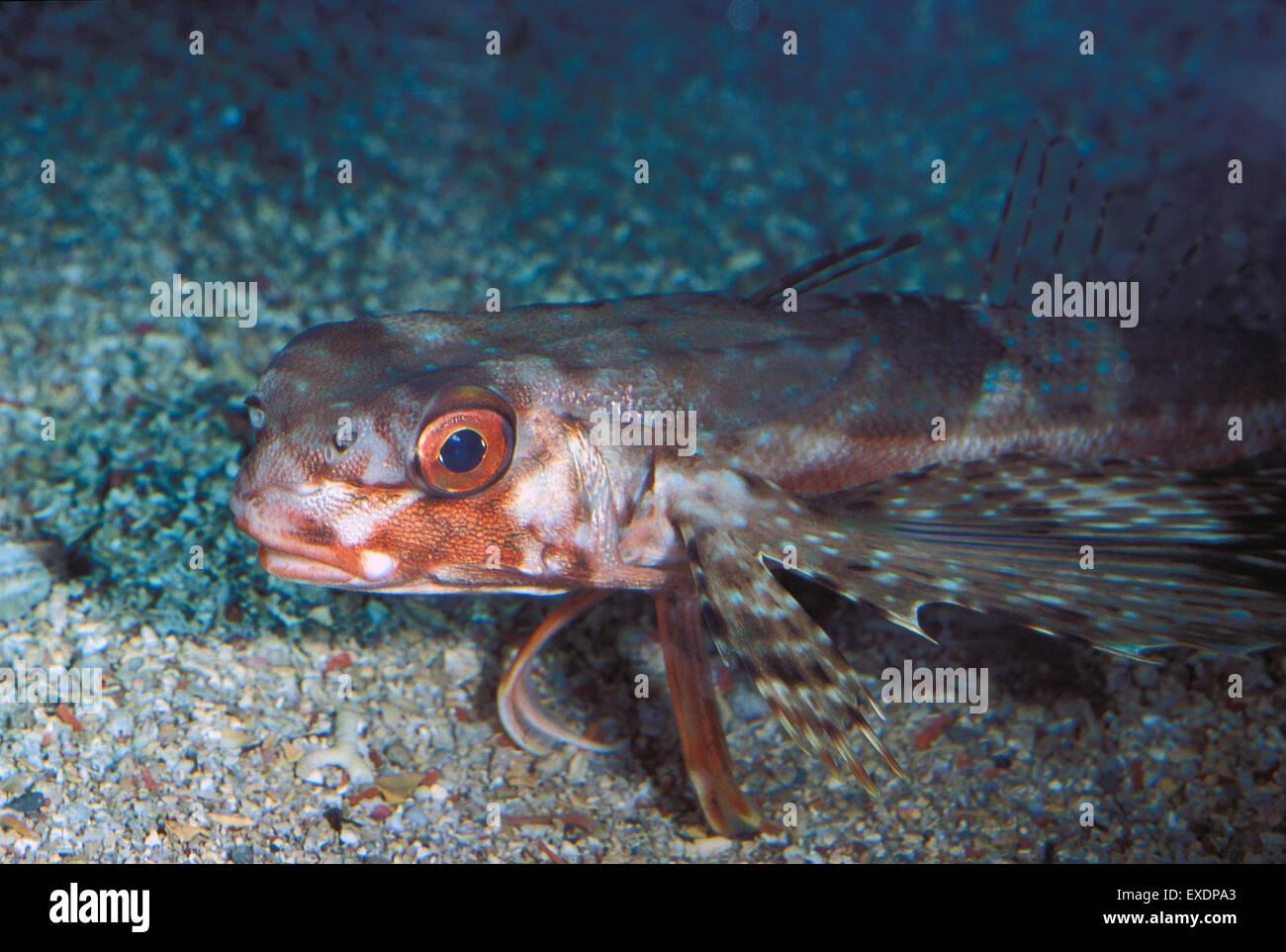 pesce civetta pesci marini mediterraneo acquario stock