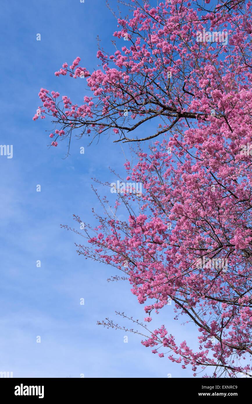 Beautiful Wild Himalayan Cherry Flower Prunus Cerasoides
