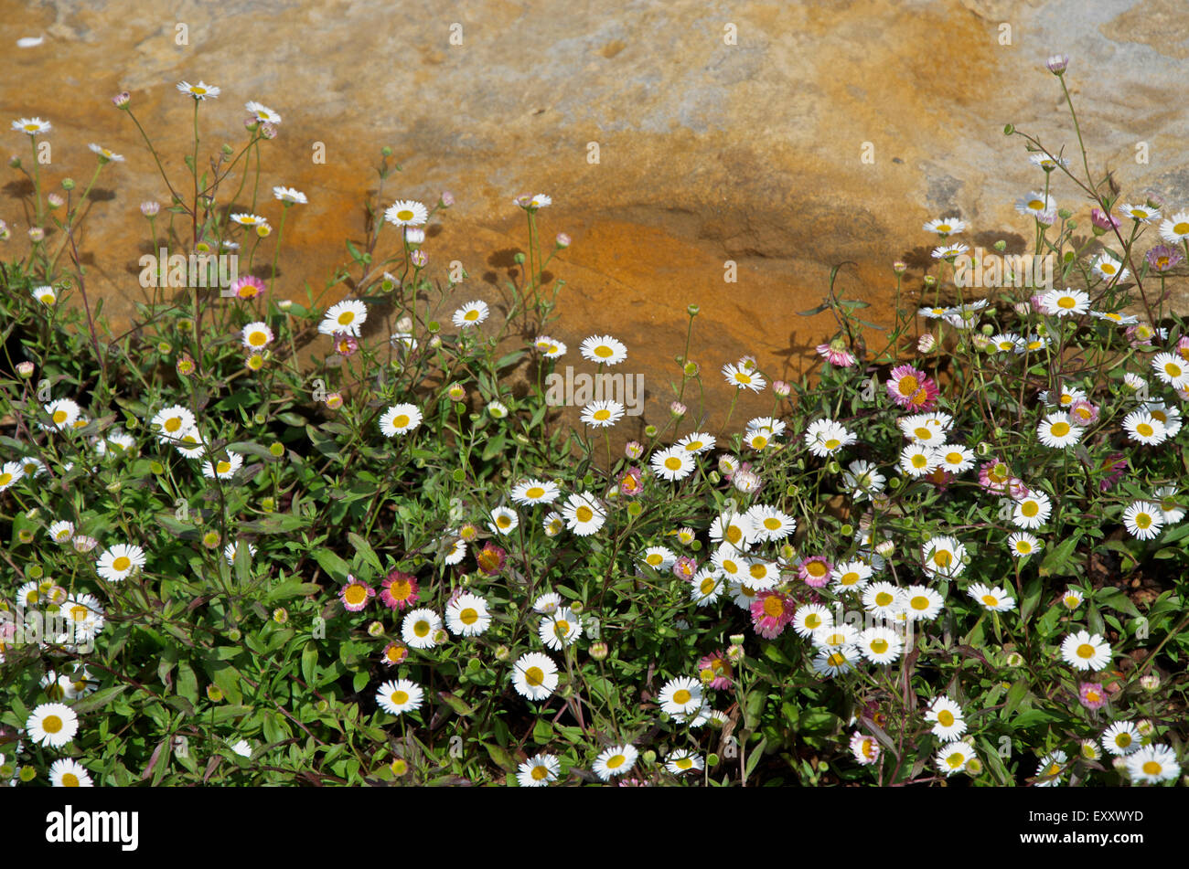 the small daisy like flowers of mexican fleabane or erigeron stock, Beautiful flower