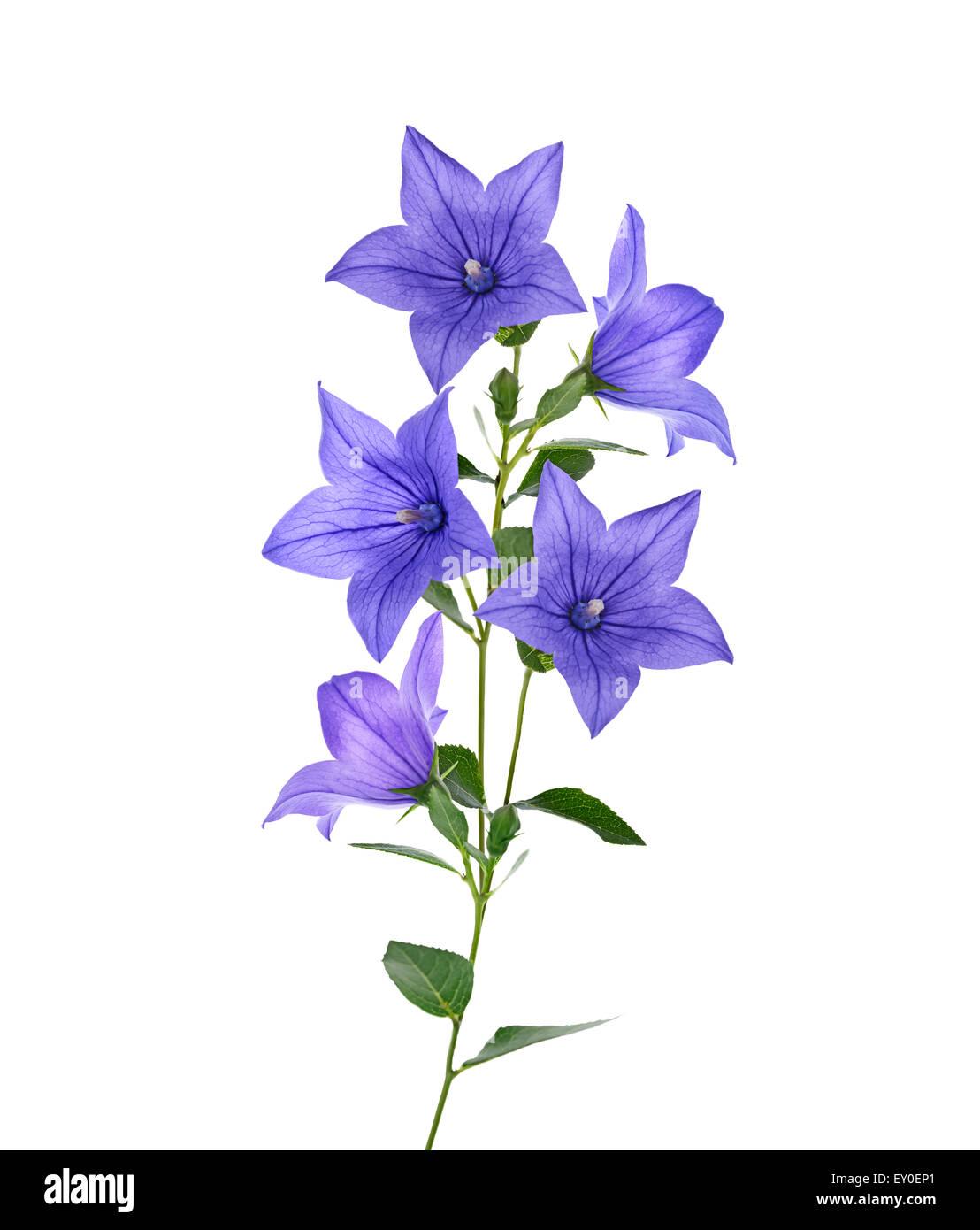 Blue bell flowers isolated on white background stock photo royalty blue bell flowers isolated on white background mightylinksfo Choice Image
