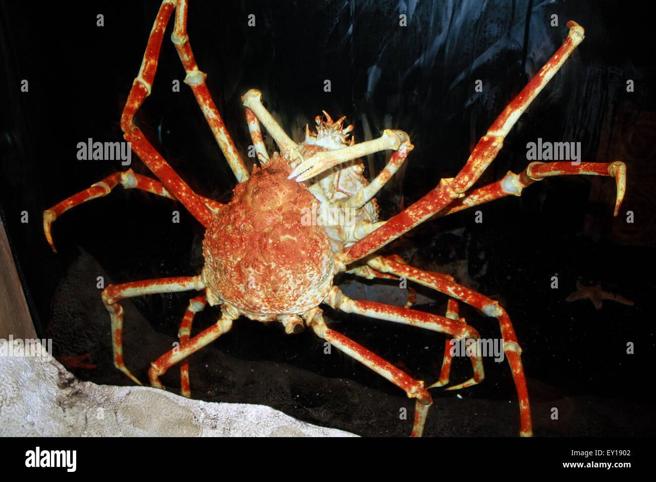 giant japanese spider crab macrocheira kaempferi in atlantis aquarium long island new york stock image