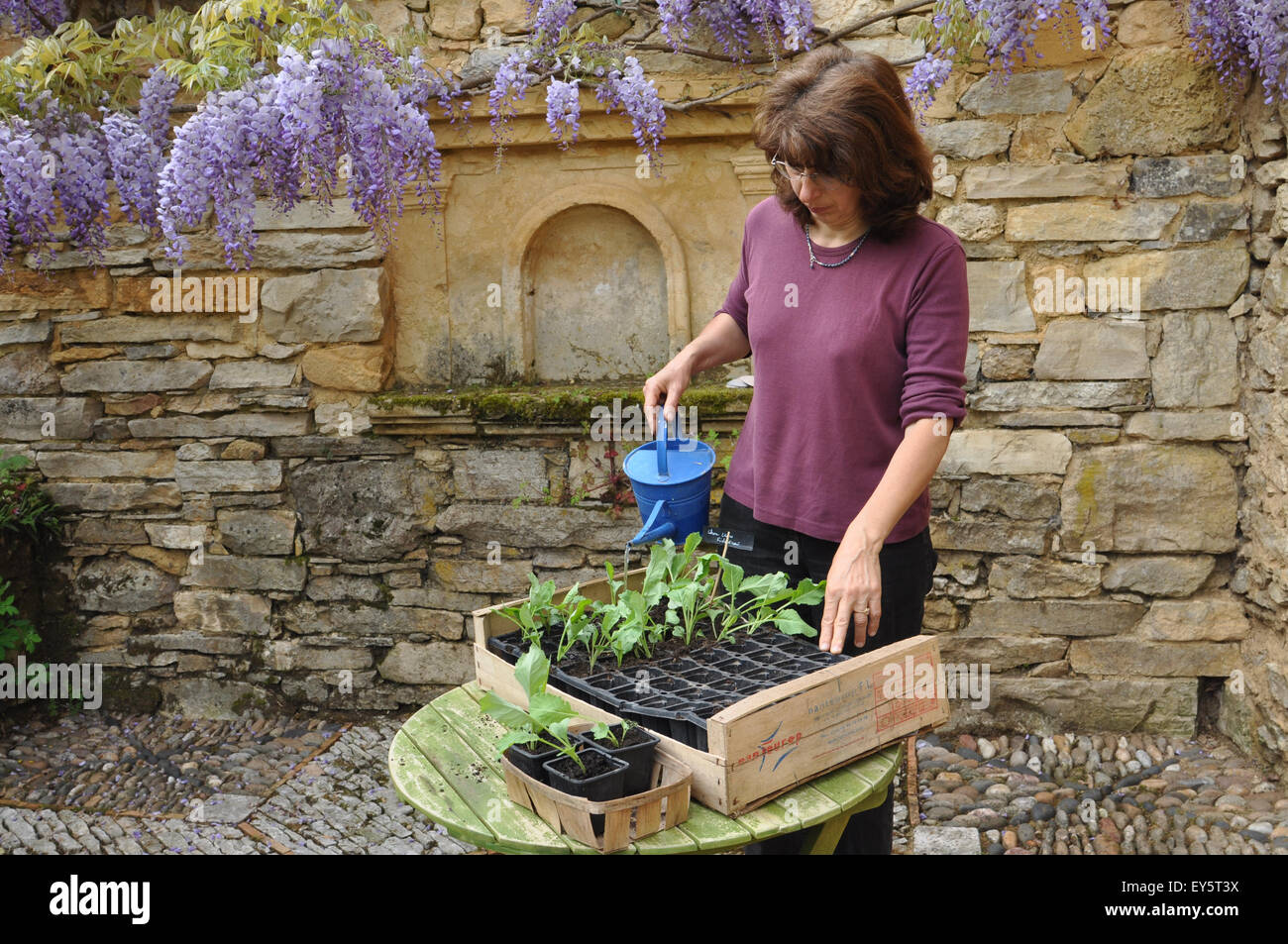 Planning A Kitchen Garden Planning Out Headed Cabbages In A Kitchen Garden Stock Photo