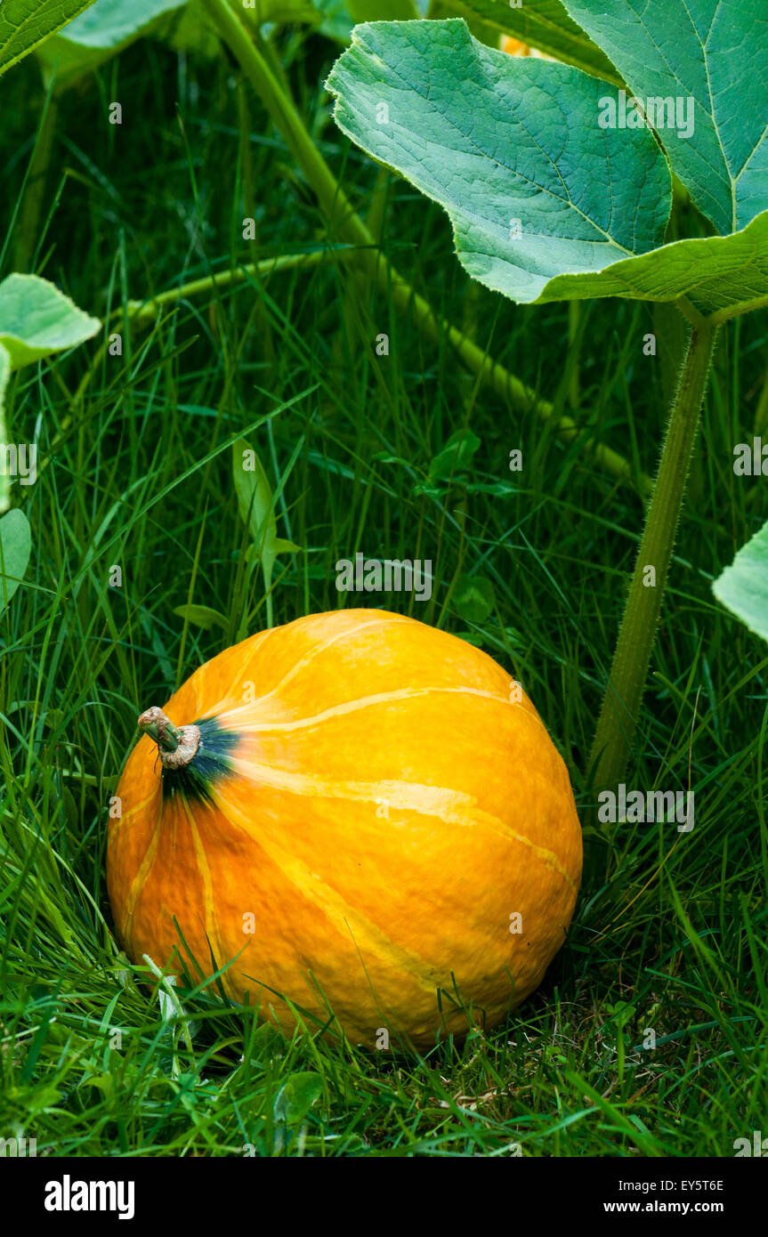 Organic Kitchen Garden Potimarron Squash In An Organic Kitchen Garden Stock Photo