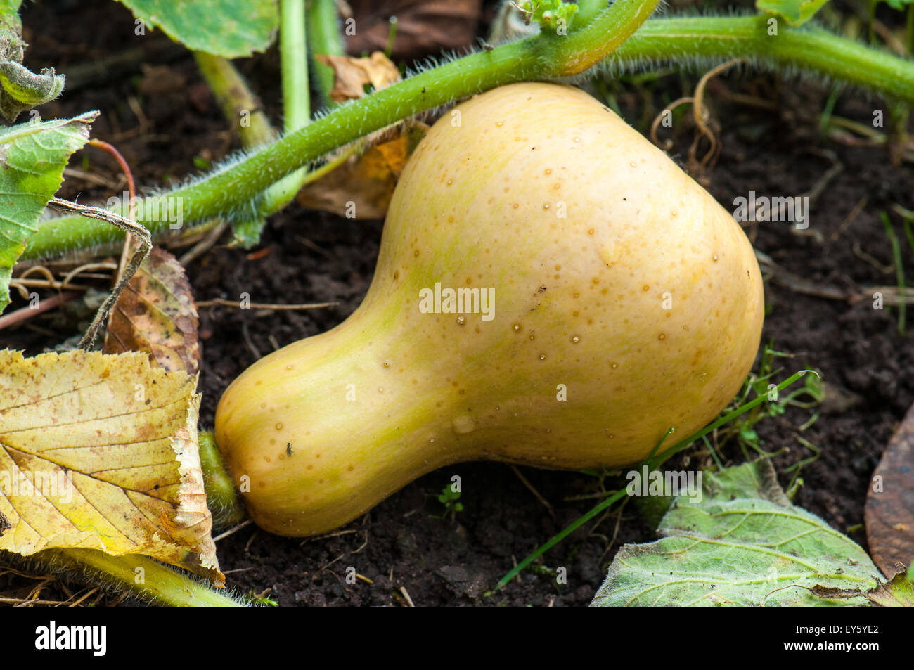 Organic Kitchen Garden Crookneck Squash Butternut In An Organic Kitchen Garden Stock