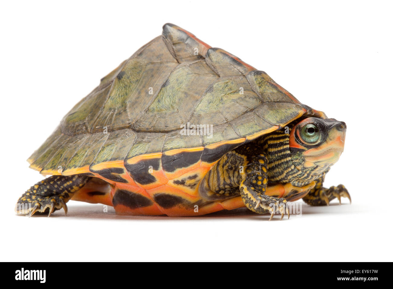Charming Indian Roofed Turtle On White Background