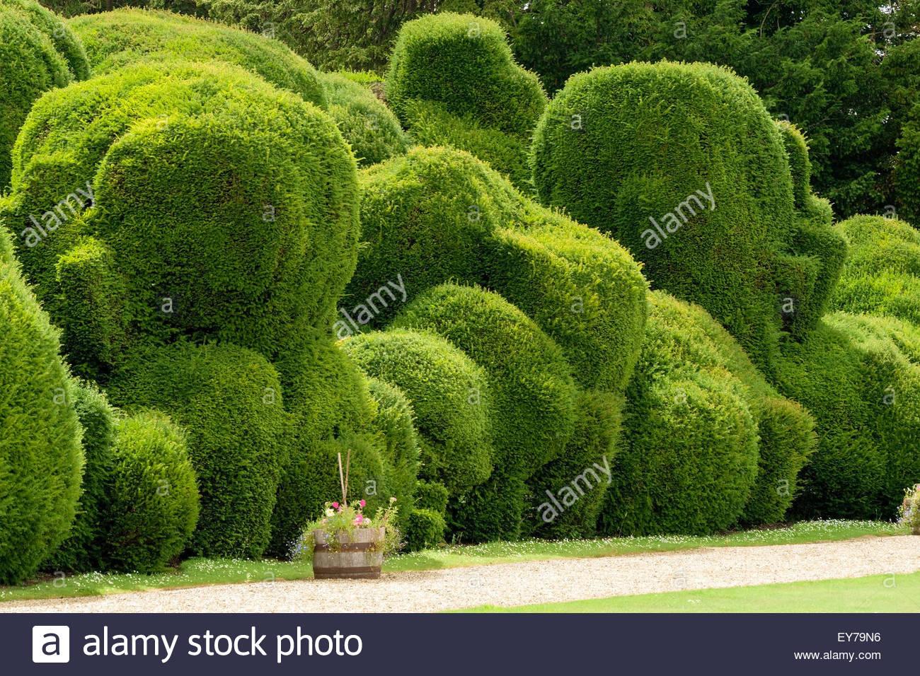 Elephant Hedge In Landscaped Gardens Of Rockingham Castle,  Northamptonshire, England, UK