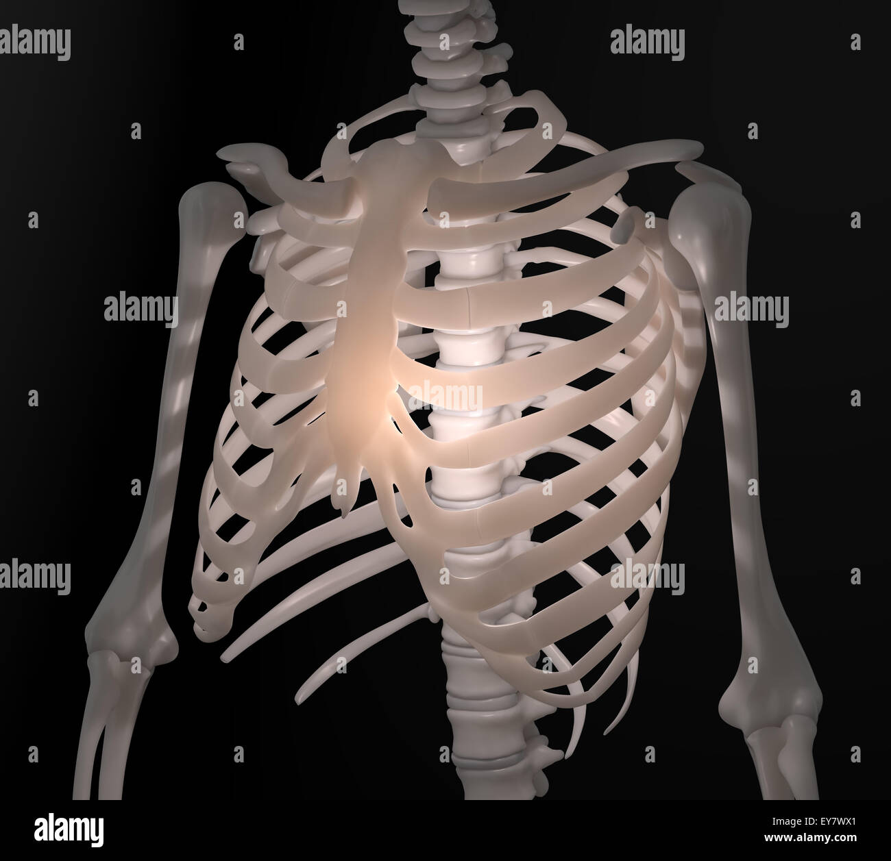 human skeleton - chest anatomy illustration stock photo, royalty, Skeleton