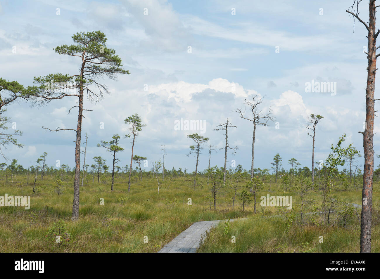Bog pines at soomaa national park in estonia the park is the largest intact peat