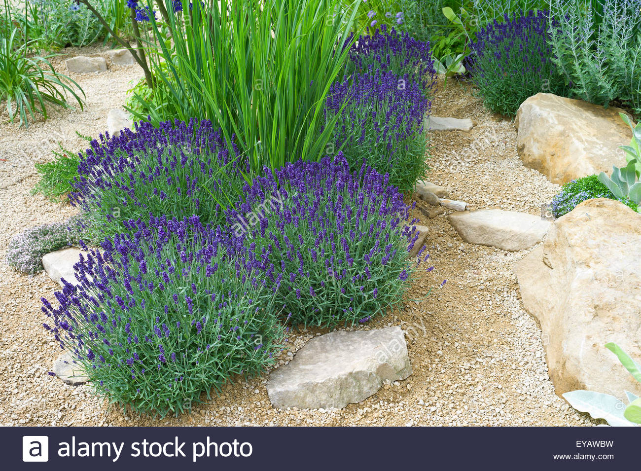 lavendel hidcote blue lavender bushes perennials. Black Bedroom Furniture Sets. Home Design Ideas