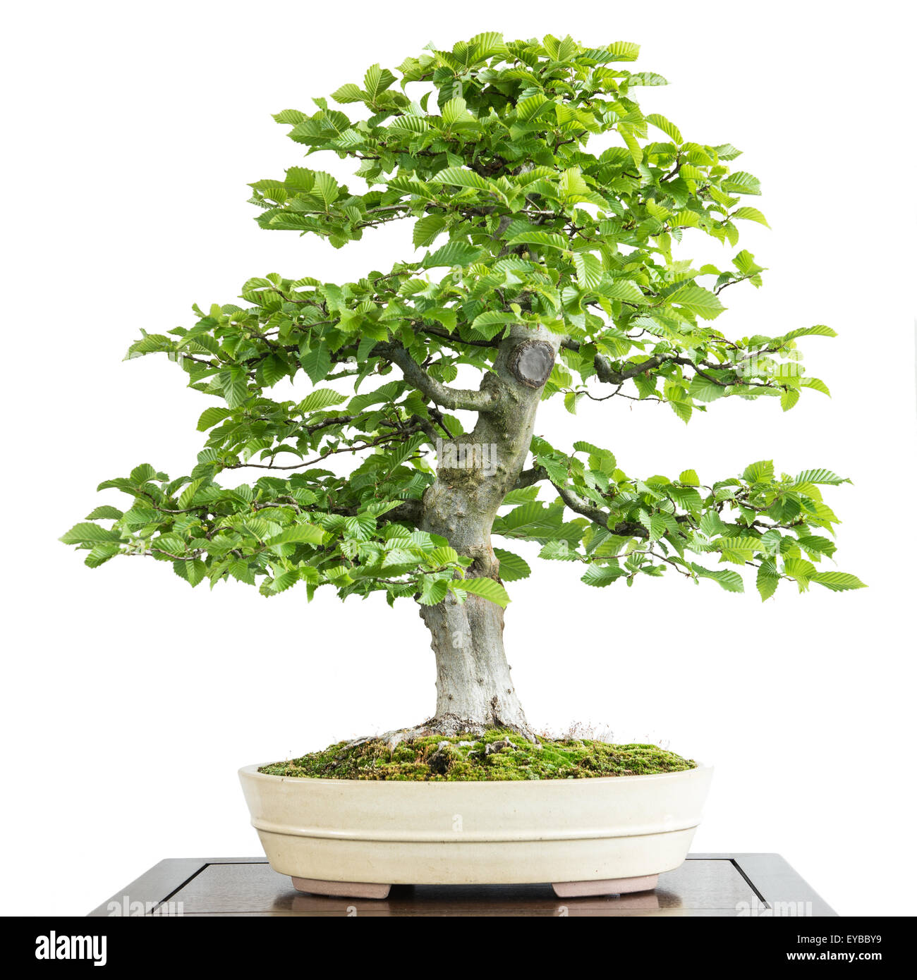 old common hornbeam carpinus betulus as bonsai tree stock photo royalty free image 85688045. Black Bedroom Furniture Sets. Home Design Ideas