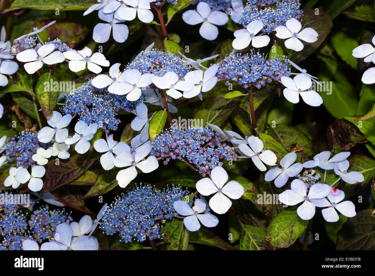 Blue and white lacecap flowers of hydrangea serrata bluebird blue and white lacecap flowers of hydrangea serrata bluebird dhlflorist Image collections