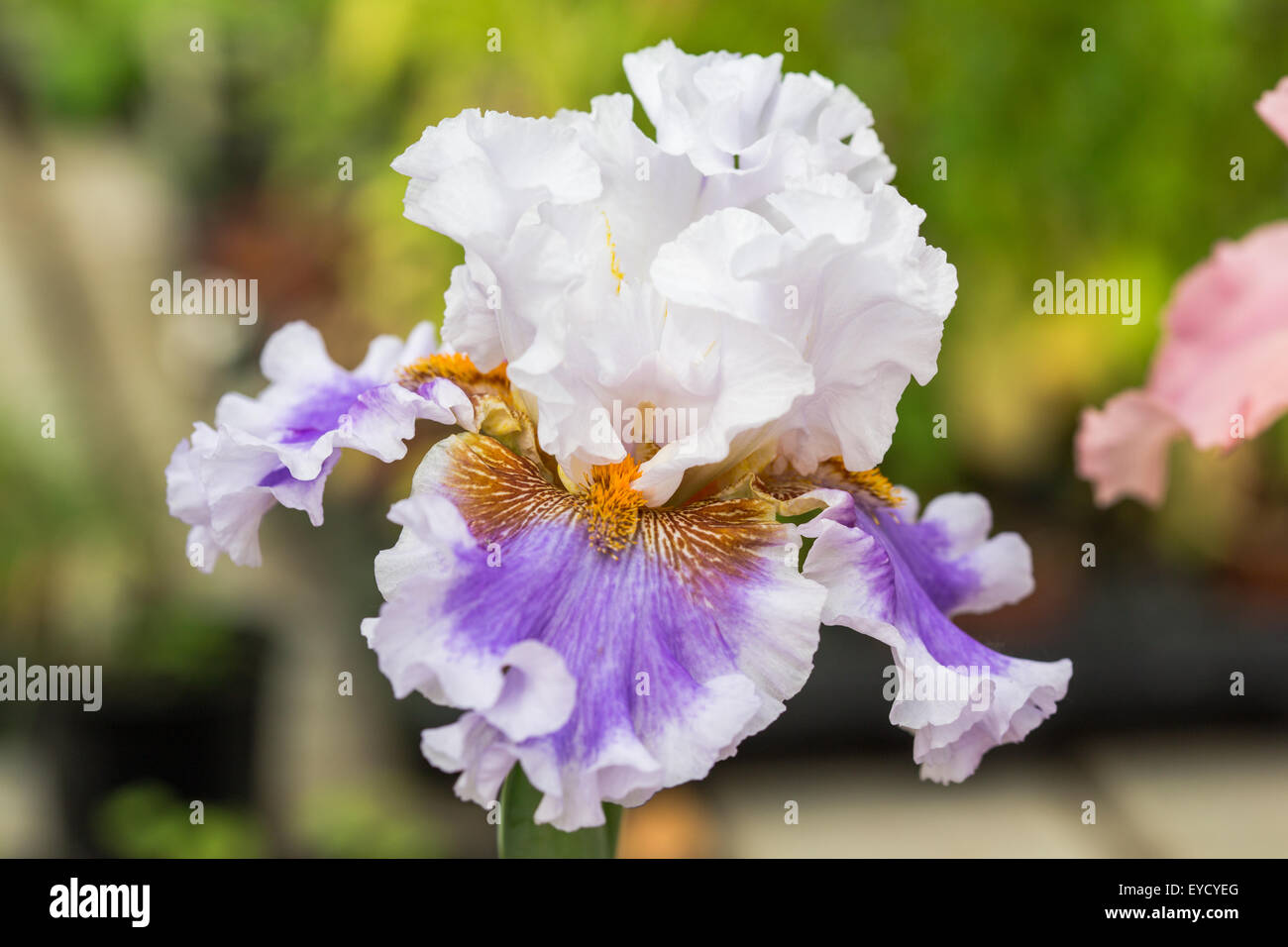 Beautiful flowers 2019 white bearded iris flower beautiful flowers white bearded iris flower various pictures of the most beautiful flowers can be found here find and download the prettiest flowers ornamental plants izmirmasajfo