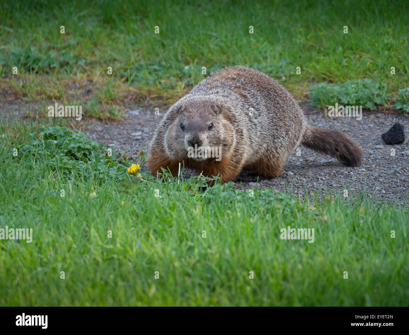 groundhog walking stock photo royalty free image 85763405 alamy