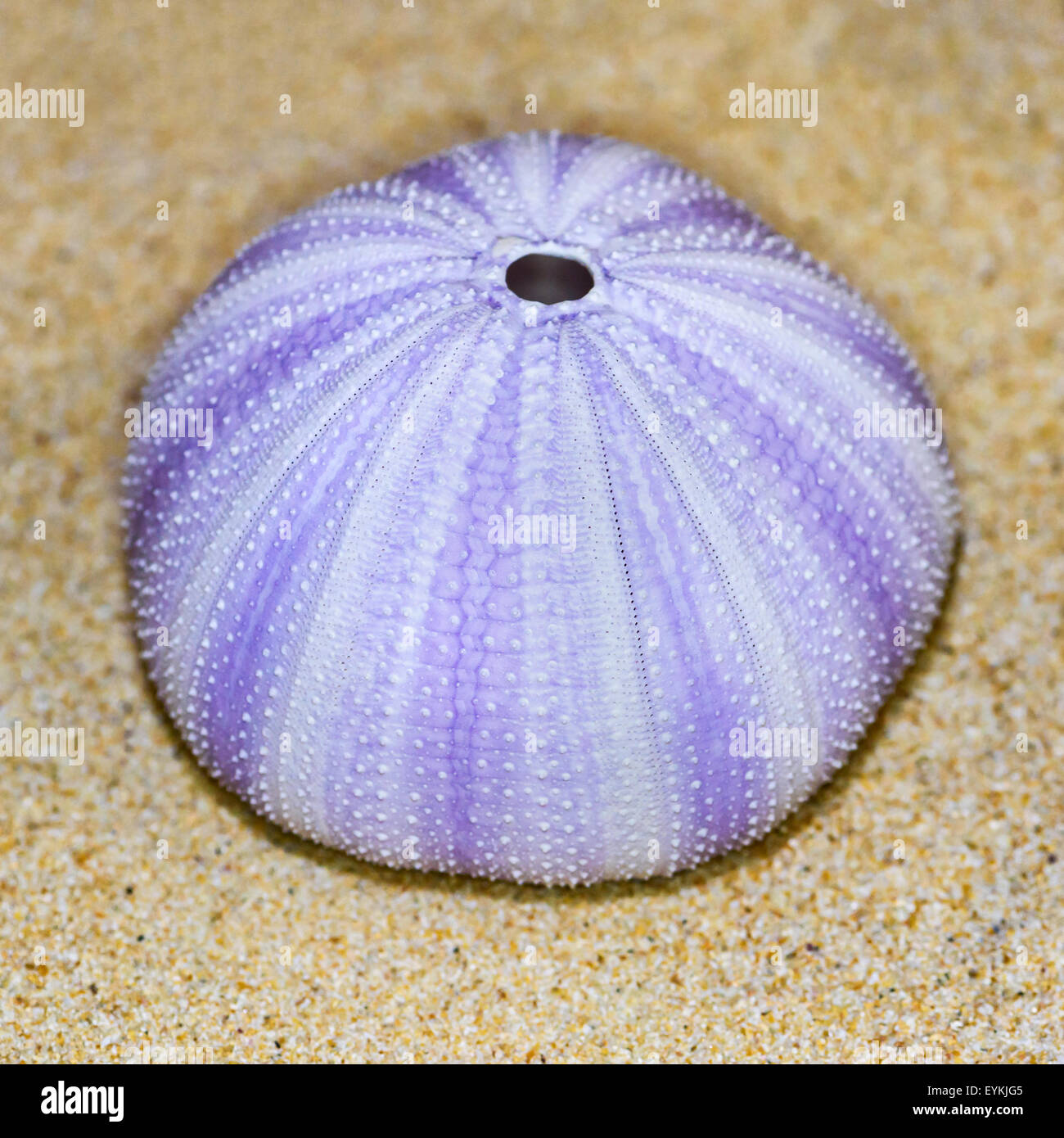 White sea urchin shell - photo#22