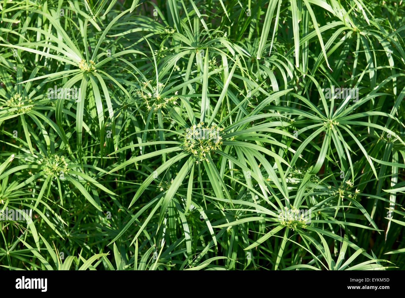 papyrus papyrus shrubs sour grass plant cyperus papyrus stock photo royalty free image. Black Bedroom Furniture Sets. Home Design Ideas