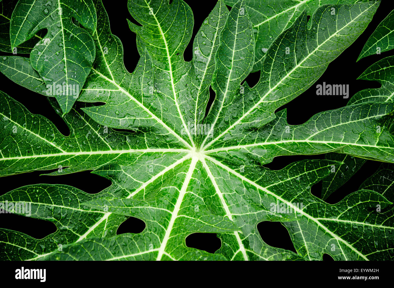 papaya tree leaf - photo #34