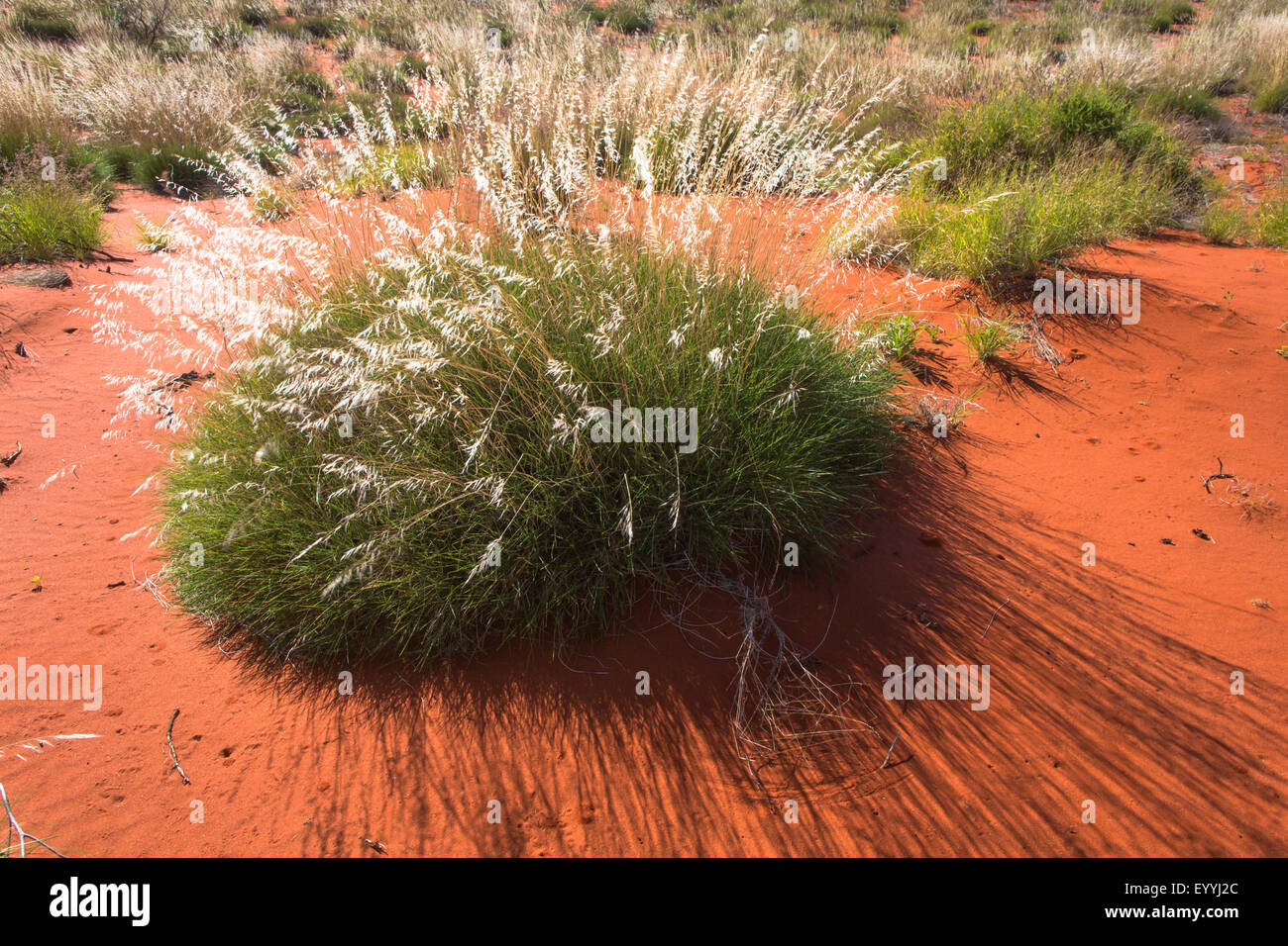 Related Keywords Amp Suggestions For Spinifex Australia