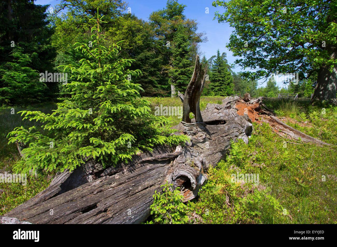 Oak quercus spec old dead oak tree as a habitat for Habitat deutschland