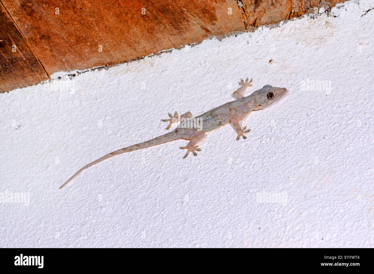 house gecko stock photos & house gecko stock images - alamy