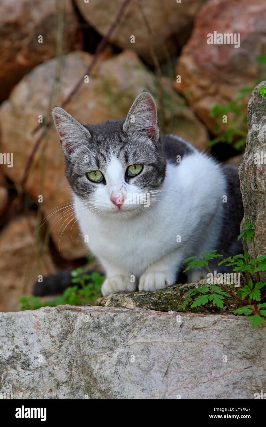 domestic cat house cat Felis silvestris f catus grey and