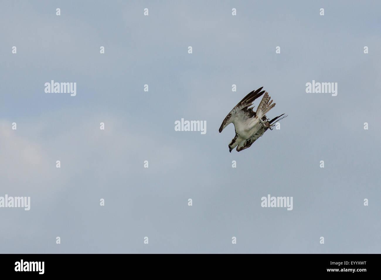 Osprey fish hawk pandion haliaetus nose dive usa for Fish hawk fl