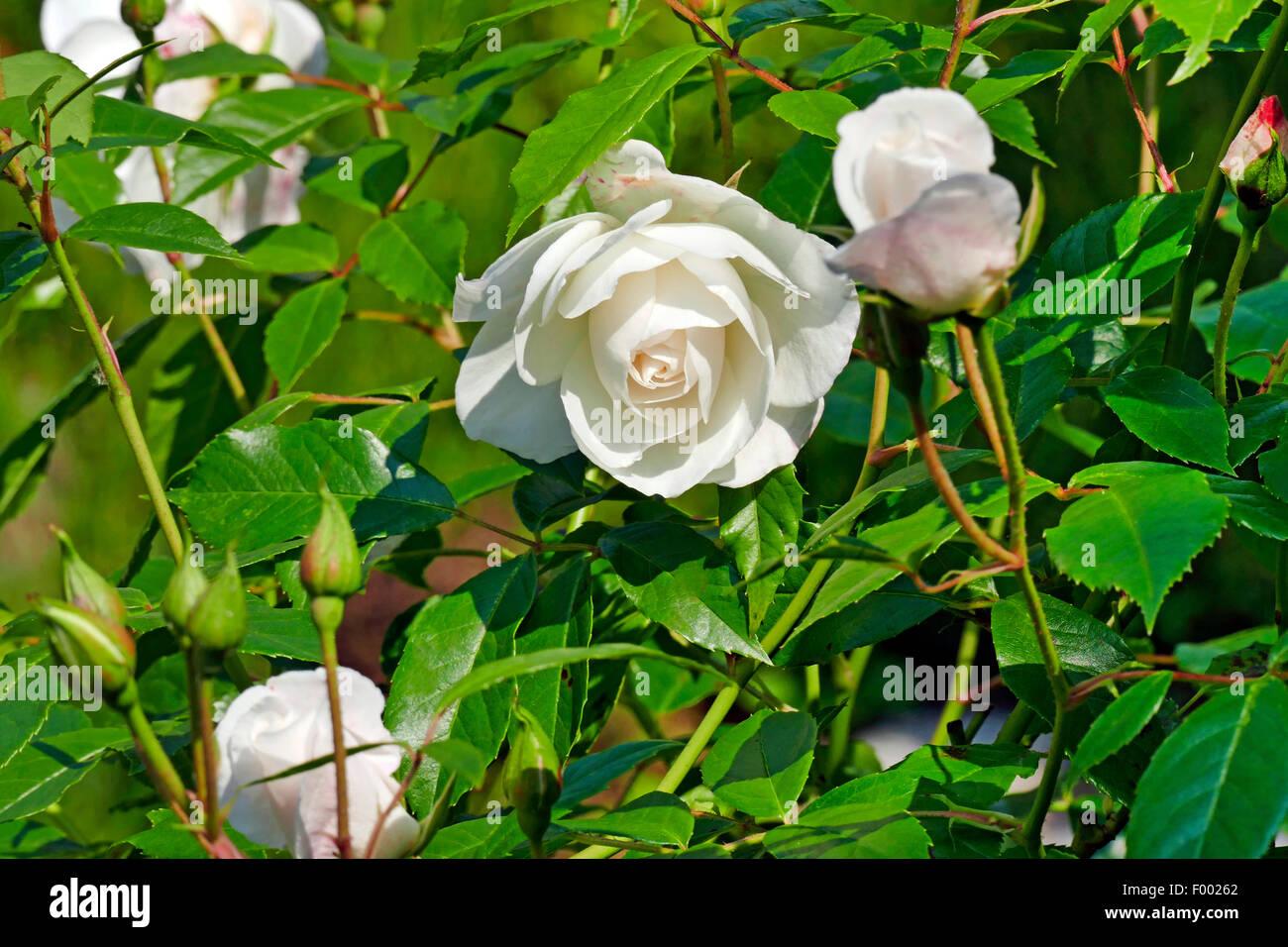 ornamental rose rosa 39 schneewittchen 39 rosa. Black Bedroom Furniture Sets. Home Design Ideas