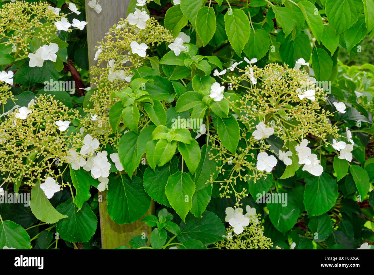 climbing hydrangea hydrangea petiolaris hydrangea. Black Bedroom Furniture Sets. Home Design Ideas