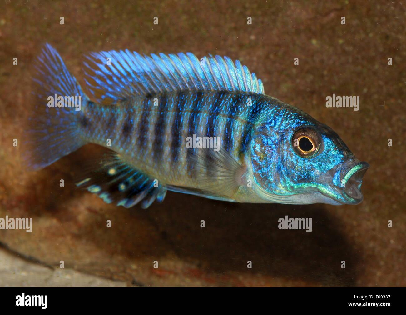 Freshwater fish of southern africa - Malawi Cichlid Sixstripe Cynotilapia Dogtoothed Zebra Dwarf Zebra Cynotilapia Afra Hemichromis
