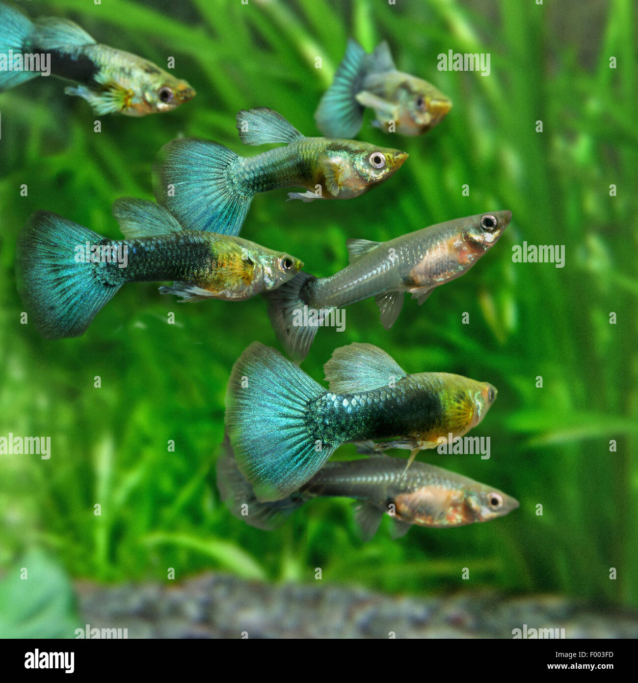 choice of poecillia reticulata Mate-choice copying behaviour in the guppy (poecilia reticulata): copying in the wild and the role of social familiarity in copying by kimberley pe hair.