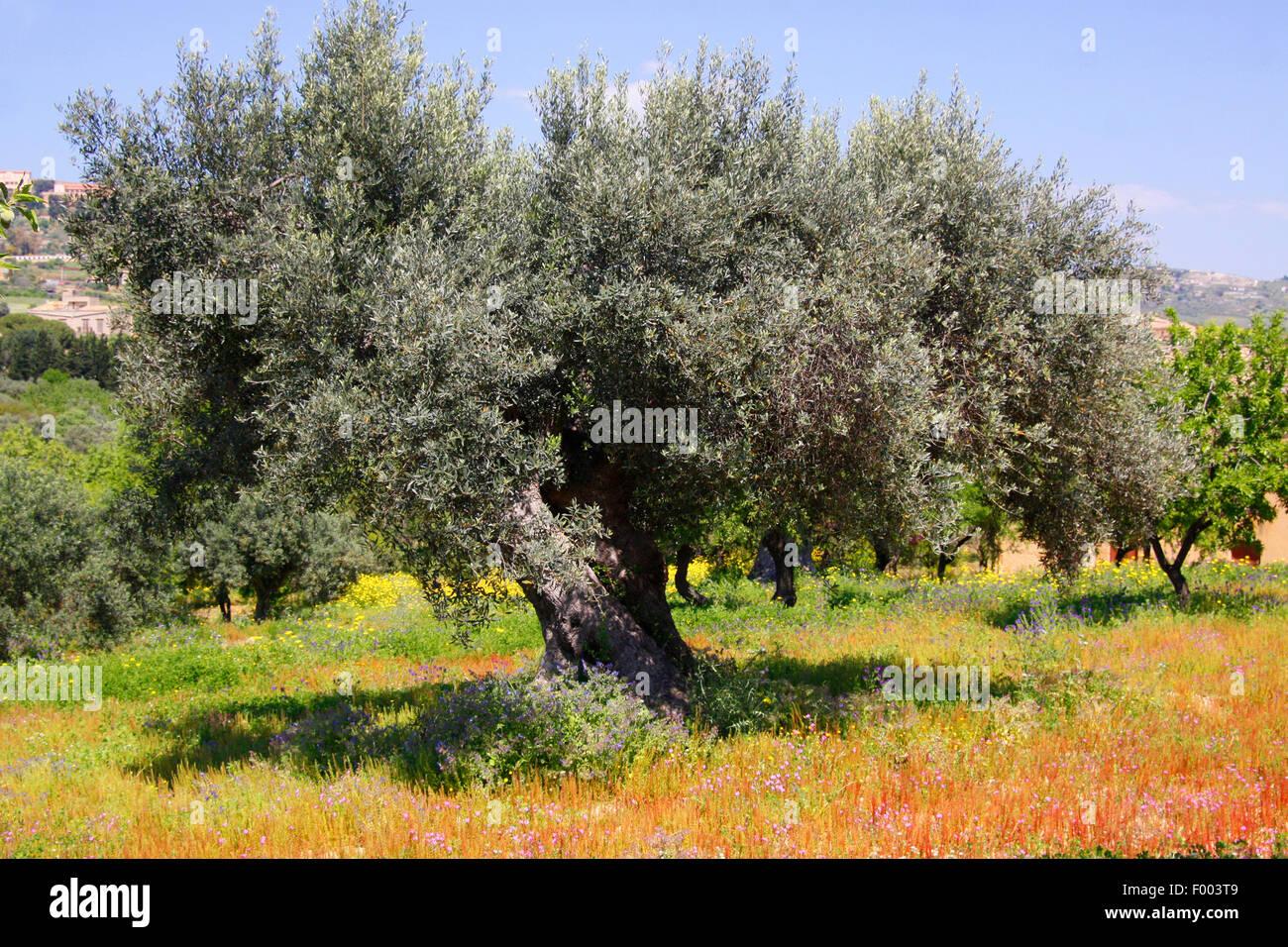 olive tree olea europaea ssp sativa in a meadow italy sicilia stock photo royalty free. Black Bedroom Furniture Sets. Home Design Ideas