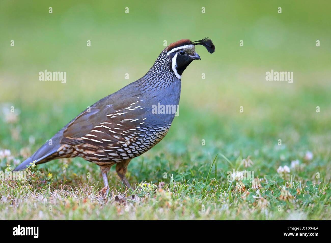 california quail callipepla californica lophortyx californica male standing in a meadow canada vancouver island victoria